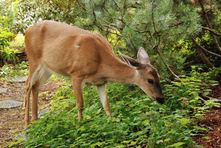 A deer eating shrubs in a yard.