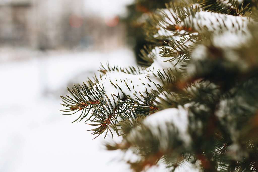Closeup of a pine tree covered with snow. Blurry background.