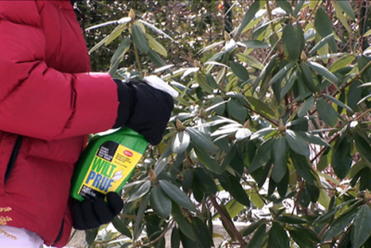 Person applying anti-desiccant spray to an evergreen.